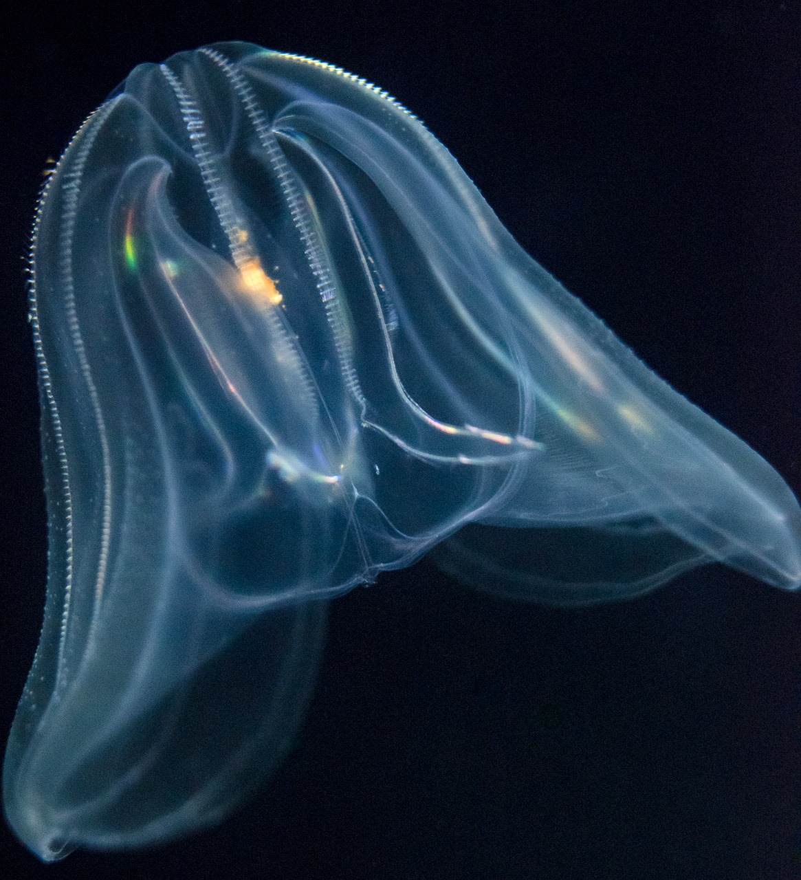 Comb Jelly Dave Wilson Photography