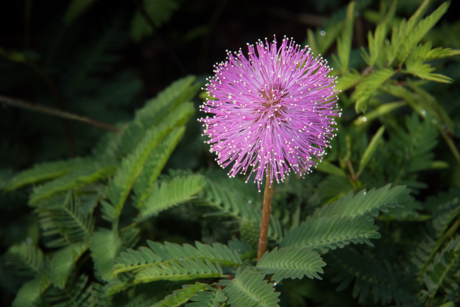 Mimosa Pudica Dave Wilson Photography